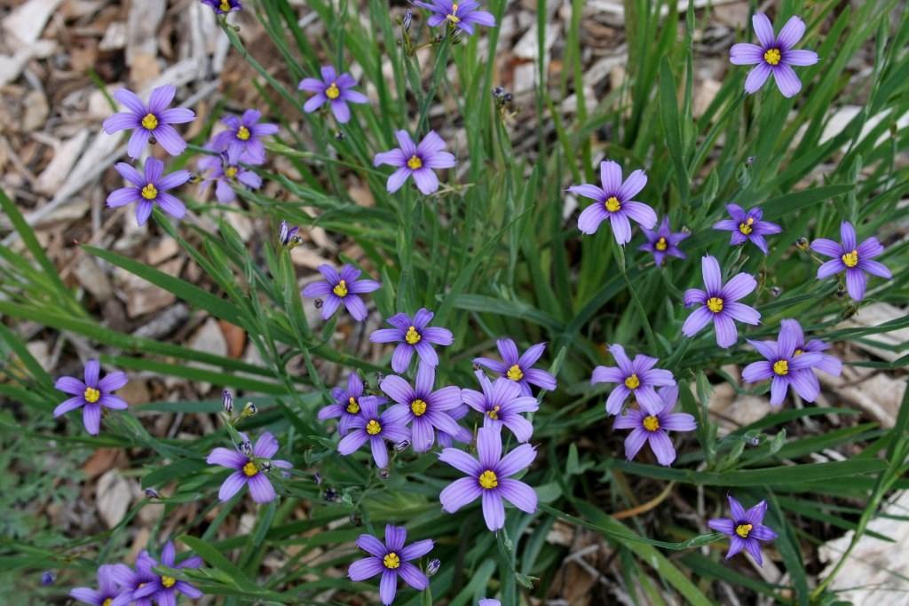 Blue Eyed Grass Garden Celebrations